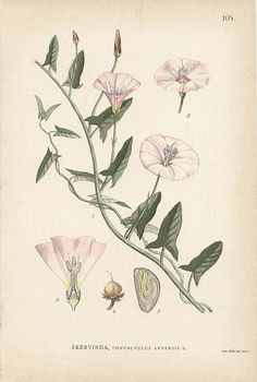ANTIQUE 1905 BOTANICAL Book Plate 104 Convolvulus Arvensis (Field Bindweed). $7.00, via Etsy.