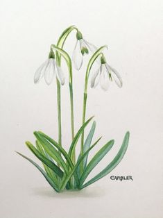 Buy Snowdrops, Watercolour by Charlotte Ambler on Artfinder. Discover thousands of other original paintings, prints, sculptures and photography from independent artists. Botanical Drawings, Botanical Prints, Botanical Illustration, Watercolor Flowers, Watercolour Painting, Watercolor Ideas, Beautiful Paintings Of Flowers, Mirror Painting, Mirror Art