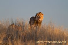Ottos Adventure: Kalahari Lion