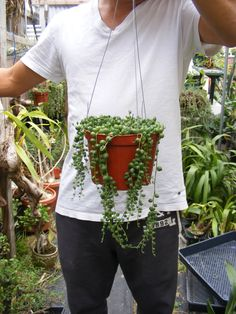 String of Pearls - Senecio- in approx. 5 inch Hanging Pot  Youll receive the similar plant as shown in picture - an approx. 5 inch pot of string of pearls. Plant will be shipped in pot with wire hanger as shown.  Payment We accept Paypal when using Major Credit Cards, Cashiers Checks, Money Orders and even personal checks after they have cleared.  During cold weather when temp fall below 40 degree, heat pack is recommend for your package. The heat pack will stay warm in your package with…