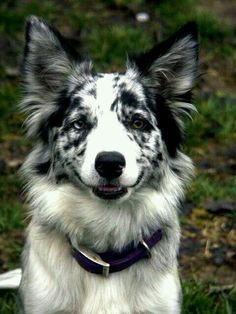 Terrific No Cost Border Collies mirlo Style The particular Perimeter Collie hails on the borderlands regarding Britain plus Scotland (hence your title! Border Collie Azul, Perros Border Collie, Border Collie Colors, Border Collie Blue Merle, Australian Shepherds, West Highland Terrier, I Love Dogs, Cute Dogs, Cockerspaniel