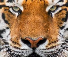 ... stare, tiger, tiger, face, eyes, nose, mouth, stare Share >>More