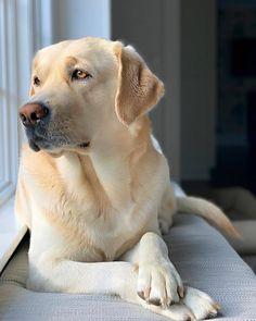 Perro Labrador Retriever, Golden Retriever, Retriever Puppy, Labrador Names, Baby Labrador, Golden Labrador, Cute Puppies, Dogs And Puppies, Pet Dogs