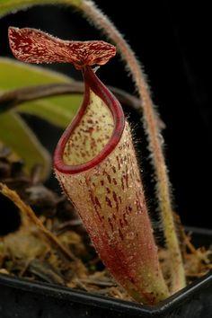 Here are a few photos I had time to take today.  N. Predator   N. densiflora   N. glabrata   N. glabrata   N. lowii   N. tenuis   N. tenuis   N. macrophylla AW   N. thorelii x aristolochioides   N.