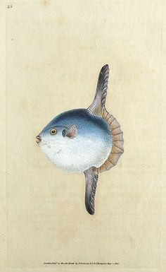 ⭐️SUN FISH by Edward Donovan From The Natural History of British Fishes by Edward Donovan Published London 1803 by F C Rivington An attractive original