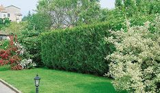 Need a privacy hedge right away? These are the best fast-growing privacy hedges that you can plant to achieve a tall, dense hedge very quickly. Privacy Hedges Fast Growing, Fast Growing Hedge, Shrubs For Privacy, Fast Growing Evergreens, Hedging Plants, Garden Shrubs, Shade Garden, Evergreen Trees For Privacy, Evergreen Hedge