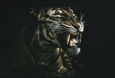 https://flic.kr/p/VRKj6D | Tyger Tyger | The powerful Malayan tiger, Connor.