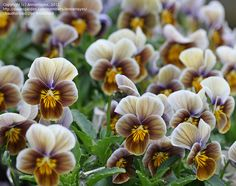 Pansy Velour Frosted Chocolate (Violai)