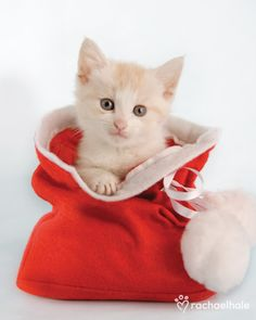 """Tinker (Domestic Shorthaired) - """"Look who is tinkering in my Christmas sack!""""  (pic by Rachael Hale)"""