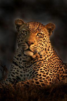 Leopard in the Burn