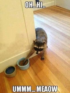 Sneaky Raccoon funny quotes cute memes animals adorable pets meme lol funny quotes humor wild animals funny animals raccoon