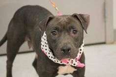 ADOPTED>NAME: Annabelle  ANIMAL ID: 30568249  BREED: lab/pit mix  SEX: female  EST. AGE: 2 yr  Est Weight: 55 lbs  Health: heartworm neg  Temperament: dog friendly, people friendly.  ADDITIONAL INFO: RESCUE PULL FEE: $49  Intake date: 1/8  Available: Now