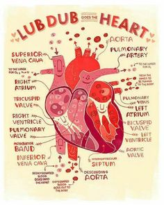 art Typography design Anatomy science doctor medical valentines day Valentine Valentine's Day biology medicine human anatomy information art print bio Scientific Illustration Cardiovascular inforgraphic rachel ignotofsky Heart Anatomy, Brain Anatomy, Anatomy Art, Anatomy And Physiology, Cardiac Anatomy, Medical Anatomy, Nursing Tips, Nursing Notes, Nursing Programs