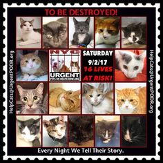 "TO BE DESTROYED 9/2/17 - - Info  Please share View tonight's list here: http://nyccats.urgentpodr.org/tbd-cats-page/. The shelter closes at 8pm. Go to the ACC website( http:/www.nycacc.org/PublicAtRisk.htm) ASAP to adopt a PUBLIC LIST cat (noted with a ""P"" on their profile) and/or … CLICK HERE FOR ADDITIONAL…Please…Please...-  Click for info & Current Status: http://nyccats.urgentpodr.org/to-be-destroyed-32017/"
