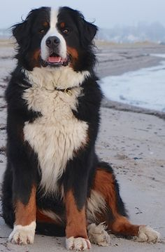 Good Photos bernese mountain dogs beach Ideas Upwards of many years, your Bernese Mountain / hill Puppy has become a 2010 basis connected with park l Big Dogs, I Love Dogs, Cute Dogs, Dogs And Puppies, Doggies, Bernese Puppy, Bernese Mountain Dog Breeders, Burmese Mountain Dogs, Animals And Pets