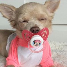 Only a #chihuahua lol …