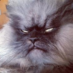 """Say hello to the one, the only, Colonel Meow! We know what you're thinking, """"I have never seen a cat that looks like that."""" But the truth of the matter is, this fantastically-fluffy kitty just melts our hearts. Funny Cat Videos, Funny Cats, Big Cats, Cats And Kittens, Dump A Day, Destroyer Of Worlds, Angry Cat, Fluffy Cat, Grumpy Cat"""