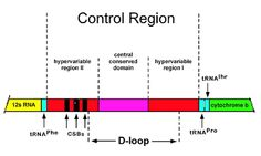 Diagram of mtDNA control region [modified after Avise Genetic Variation, Molecular Biology, Genetics, Bar Chart, Diagram, Bar Graphs