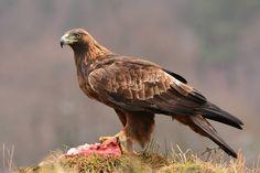 Aigle royal - Golden Eagle (Aquila chrysaetos) by Erik Müller
