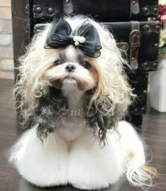 Shih Tzu History And It's Interesting Origins 5 - My ideas Perro Shih Tzu, Shih Tzu Hund, Shih Tzu Puppy, Shih Tzus, Dog Grooming Styles, Pet Grooming, Cute Dogs And Puppies, Baby Dogs, Doggies