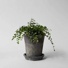 Our organic, Rustic Grey Clay Trays are handtossed with terra cotta. We recommend pairing with the Rustic Grey Clay Pot, or a glass cloche. Low Light Plants, Handmade Table, Burlap Pillows, Organic Matter, Vase Centerpieces, All Plants, Garden Plants, How To Distress Wood, Clay Pots