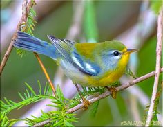 https://flic.kr/p/ZsLdgE | Northern Parula | When you catch these little guys in the right pose, there may not be a better looking Warbler (IMO of course).  I am a bit surprised this one was as colorful as it was since we're in the Fall (non-breeding period) for these birds, but I'll take it. I photographed this guy while looking for a Golden-winged Warbler (unsuccessful) at Demetree Park in Orlando, Florida.