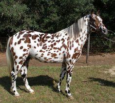 cool doc holliday appaloosa stallion - Google Search