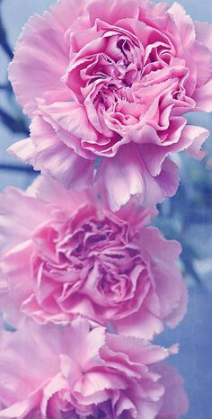Beautiful Flowers Pictures, Flower Pictures, Amazing Dp, Macro Flower, Iphone Wallpaper, Roses, Wallpapers, Plants, Pink