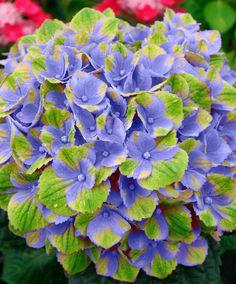 Magical Hortensia 'Amethyst Blue'  Ook in uw tuin past deze fraaie hortensia Magical 'Amethyst Blue'! De hortensia bloeit met overwegend blauwe en groene bloemen. De kleur van de bloemen verloopt door de seizoenen heen van blauw/paars naar diepgroen wat zorgt voor een toverachtige uitstraling! In ieder seizoen is deze hortensia Magical 'Amethyst Blue' een prachtige eye-catcher in uw border of in een pot op uw terras of balkon. Dit soort is zeer goed bestand tegen zon slecht weer en vorst…