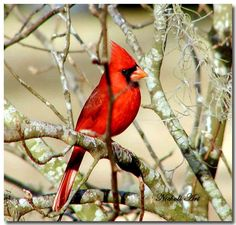 "Cardinal bird/ I will become a permanent resident. I stay year around. You can hand tame me. I use a 6Ft high feeder with a tray below for spills. I like using wire tube feeders with a perch. Lure me with ""Cardinal Mix""-safflower seed and black-oil sunflower seeds. I like chopped suet with apples, bread, corn, chopped peanuts and hulled sunflower seeds. For seed mix- corn (any), chopped peanuts and hulled sunflower seeds. I can sing 2 dozen different songs. I use twigs and grass .  ."