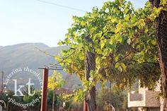 Katerina Theodore Photography | grape vines - Nafpaktos, Greece #Nafpaktos #Greece #grapes #vines #wine