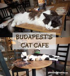 Budapest's Cat Cafe Friendly Foreign Felines Get you cat fix when traveling at the Budapest Cat Cafe