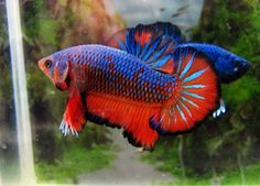 fwbettashmp1457812809 - Blue HoT orange Male##NICE##4