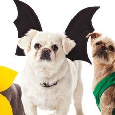 Bat Wings Harness #Pekingese
