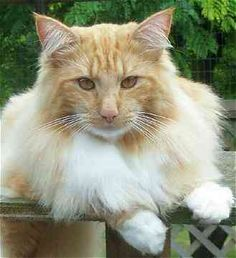 norwegian-forest-cat-breeds-bowetzo.jpg -What kind of cat breeds fit you most at catsincare.com!