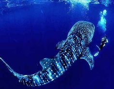 Whale shark tattoo idea- head by the knee and tail wrap around the ankle