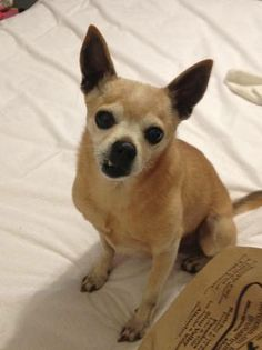 LOST DOG - Male chihuahua (Alhambra) Stoneman Avenue at Valley Blvd Small, mostly tan with some white, adult male chihuahua lost on Thursday, March 27, around 12pm on Stoneman Avenue between Valley Blvd and Norwood. Very friendly, non-neutered boy wcsfm-4433342578@comm.craigslist.org