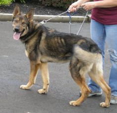 """""""GUNNER"""">>>MEADOWLANDS, PA>>>Gunner is an adoptable German Shepherd Dog Dog in Meadowlands, PA. My name is Gunner.. I might very well be a purebred GSD. I was a stray in a nearby community. I am friendly and smart and I would be ..."""