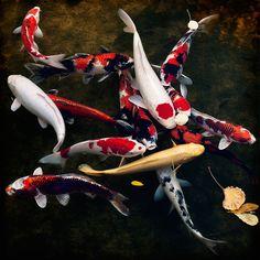 Koi carp. fish http://www.annabelchaffer.com/