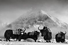 The Yaks by Javier Camacho Gimeno