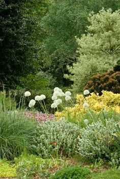 The First Picture Here Is Of Allium Summer Beauty
