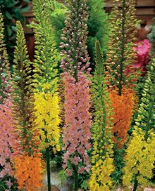 Foxtail Lilies Mix