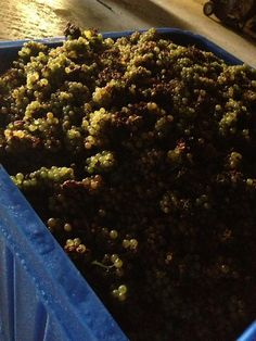 Grape harvest for Early Acres Winery in Chatham-Kent