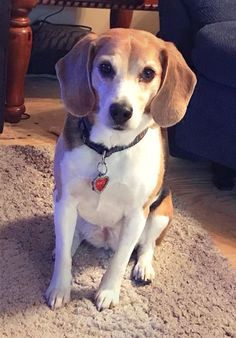 Miss Macy, my 9 year old, posing. Pretty girl #beagle #dogs #cats #necklaces #keychains #anklets #jewelry