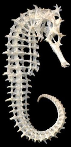 Seahorse.                         Geraamte van een zeepaardje, pin van T. Hiem