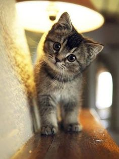 """An ordinary kitten will ask more questions than any 5 year old."" ~ Carl Van Vechten"