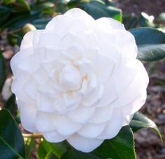 Sea Foam Camellia,Camellia japonica 'Sea Foam' - Almost Eden NOT something to grow in zone 6