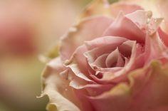 Cezanne roses