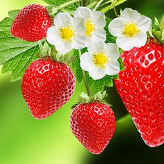 Garden Ideas & Projects - The Home Depot Strawberry Lip Balm, Strawberry Plants, Strawberry Moscato, Strawberry Fields, Strawberry Cream Cheese Frosting, Strawberry Cheesecake, Cream Frosting, Pitaya, Rabbit Eating