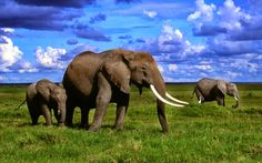 African Elephant Wallpaper Desktop